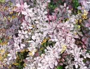Барбарис оттавский Сильвер Милес в цвету. Май 2009.