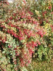 Ягоды барбариса обыкновенного созревают в середине осени. Октябрь 2005.