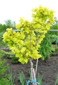 Вяз голландский Вредеи. Молодое деревце на маточнике питомника Фитон. Май 2009.