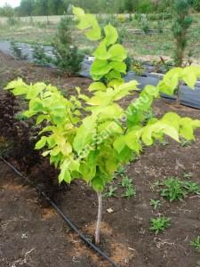 Вяз гибридный Аурея. Молодое деревце на маточнике питомника Фитон. Июль 2010.