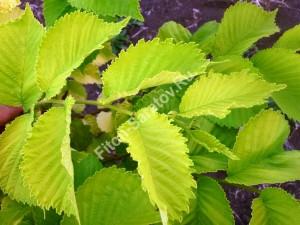 Вяз гибридный Аурея. Летняя окраска листвы. Июль 2010.