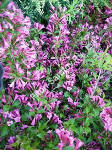 Вейгела Румба. Массовое цветение. Май 2012.