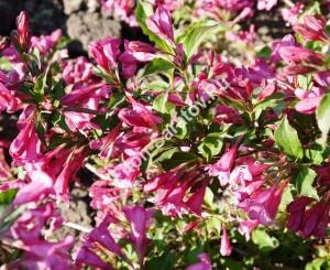 Вейгела Румба. Цветы. Май 2012.