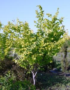 Вяз гибридный Аурея. То же дерево через 2 года. Май 2012.