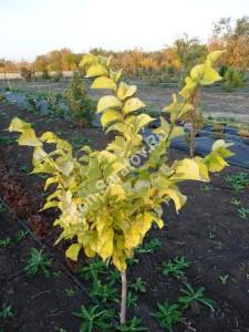 Вяз гибридный Аурея. Молодое деревце осенью. Сентябрь 2010.