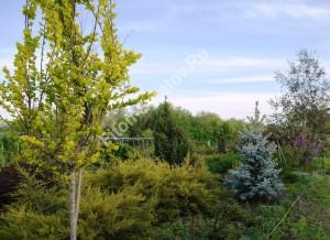 Вяз голландский Вредеи. То же дерево через 4 года. Начало распускания листвы. Май 2013.