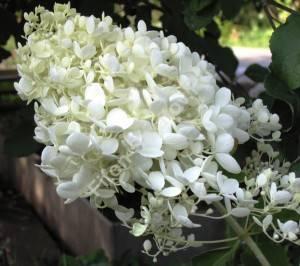 Соцветие гортензии Грандифлора очень крупное даже у молодых растений. Август 2005.