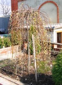 Цветение ивы Килмарнок. Апрель 2006.