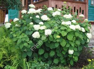 Начало цветения гортензии древовидной. Июль 2006.