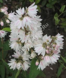Соцветие дейции Кандидиссима в начале цветения. Июнь 2008.