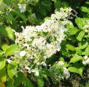Соцветие гортензии Куйшу. Июль 2006.
