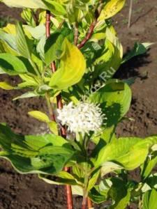 Цветение дерена Аурея. Май 2007.