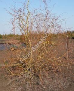 Ива Эритрофлексуоза без листьев. Апрель 2009.