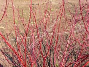 Зимняя окраска побегов дерена Аурея. Апрель 2009.