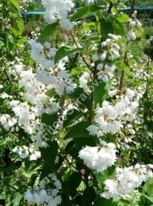 Массовое цветение дейции Кандидиссима. Июнь 2009.