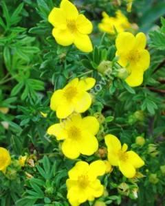 Цветение лапчатки кустарниковой Голдфингер. Июль 2006.
