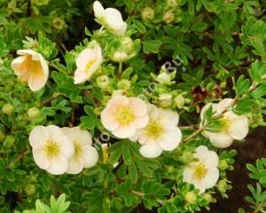 Цветение лапчатки Дейдаун. Июль 2008.