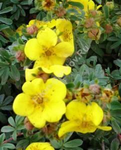 Цветение лапчатки Голдстар. Август 2008.