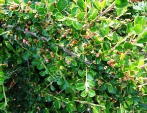 Цветение кизильника горизонтального. Июнь 2009.