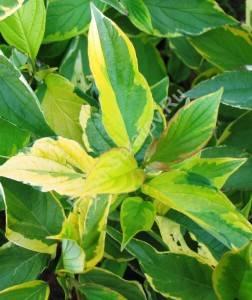 Окраска листьев дерена Гоулчаулти. Июль 2008.