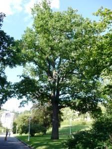 Молодое дерево дуба черешчатого в парке. Август 2008.