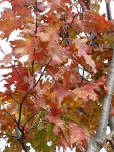 Дуб красный осенью. Октябрь 2009.