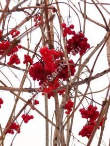 Плоды калины на кусте зимой. Декабрь 2009.