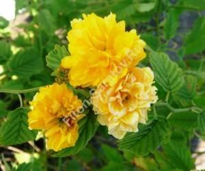 Повторное цветение керрии Махровоцветковой. Сентябрь 2009.