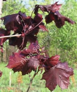 Молодая листва и красные крылатки. Май 2006.