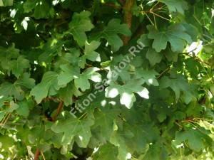 Листья клена полевого. Август 2008.