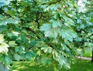 Зрелые листья клена Леопольди. Август 2009.