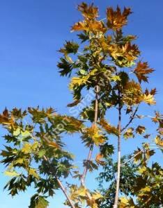 Ветви клена Пальматифидума осенью. Октябрь 2008.