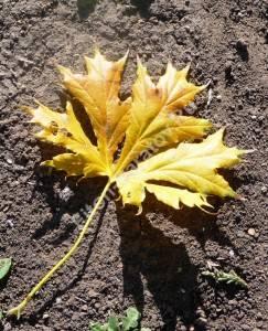 Лист клена Пальматмфидум осенью. Октябрь 2008.