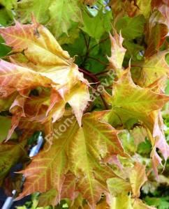 Молодые листья клена Голден Глобе. Июнь 2009.