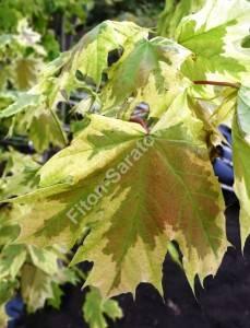 Молодые листья клена Друммонди. Май 2009.
