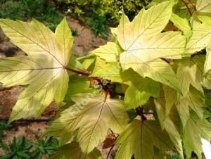 Молодые листья клена Бриллиантиссимум. Июнь 2009.
