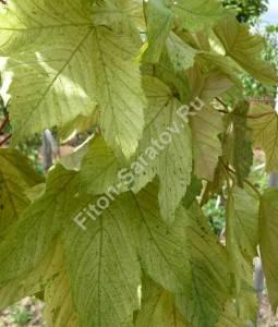Варианты окраски листьев клена Симон-Лоуис Фререс. Июнь 2009.