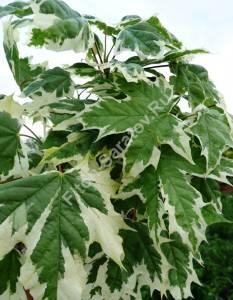 Зрелая окраска листьев клена Друммонди. Август 2009.