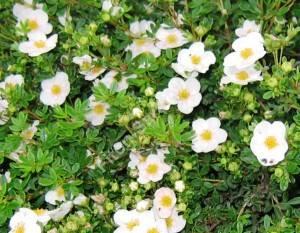 Цветы лапчатки Пинк Квин. Сентябрь 2007.