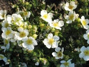 Массовое цветение лапчатки Тилфорд Крем. Август 2007.
