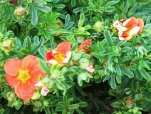 Цветы лапчатки Ред Эс в период насыщенной окраски. Июль 2006.