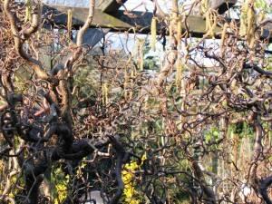 Цветение лещины Конторта. Польша. Апрель 2008.