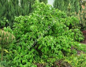 Так выглядит лещина Конторта с распустившимися листьями. Май 2009.