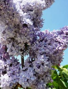 Цветы сирени Аукубофолия. Май 2009.