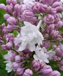 Цветы сирени Красавица Москвы в начале цветения. Май 2009.