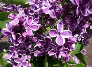 Цветы сирени Сенсация. Май 2009.