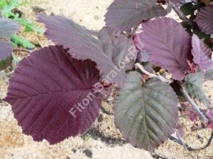 Листья лещины Пурпурия. Май 2008.