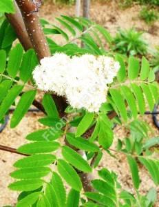 Цветение рябины Фастигиаты. Май 2009.
