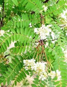 Цветение рябины Кёна. Май 2009.