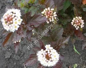 Цветение пузыреплодника Диаболо. Июнь 2009.